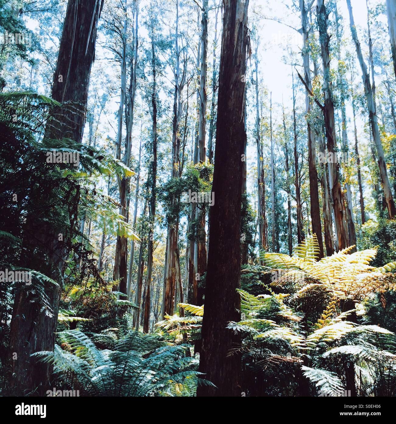 Mountain Ash forest, Dandenong Ranges, Victoria, Australia - Stock Image