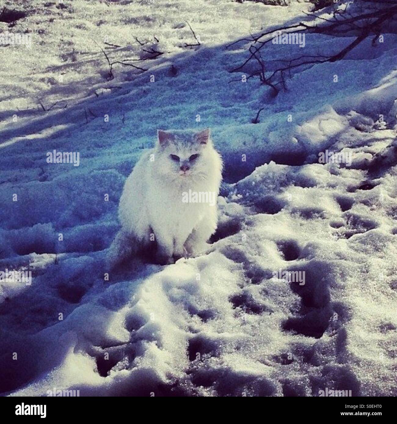 White cat white snow Whiskers waits on family - Stock Image