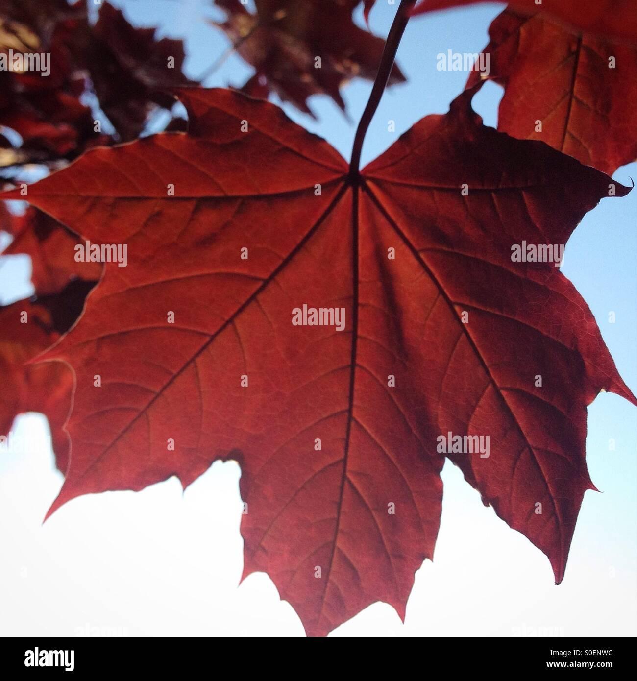 Acer leaf against blue sky - Stock Image