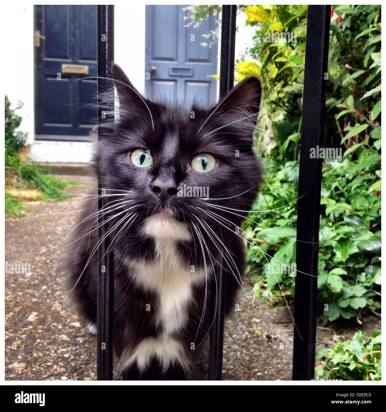 Black and white cat peering though fence - Stock Image