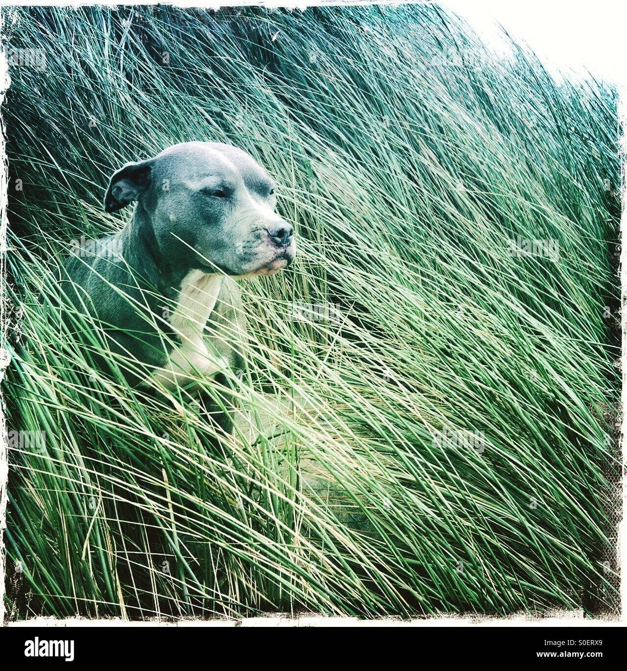 Portrait of dog in blowing sea grass - Stock Image