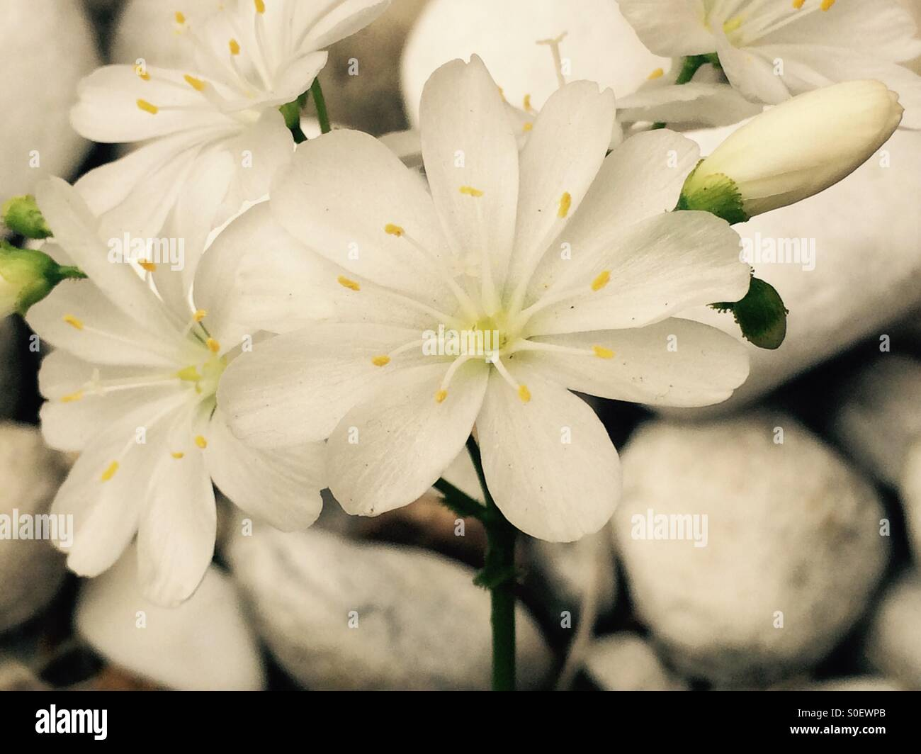 White Flowers With White Pebbles Background Stock Photo 310114179