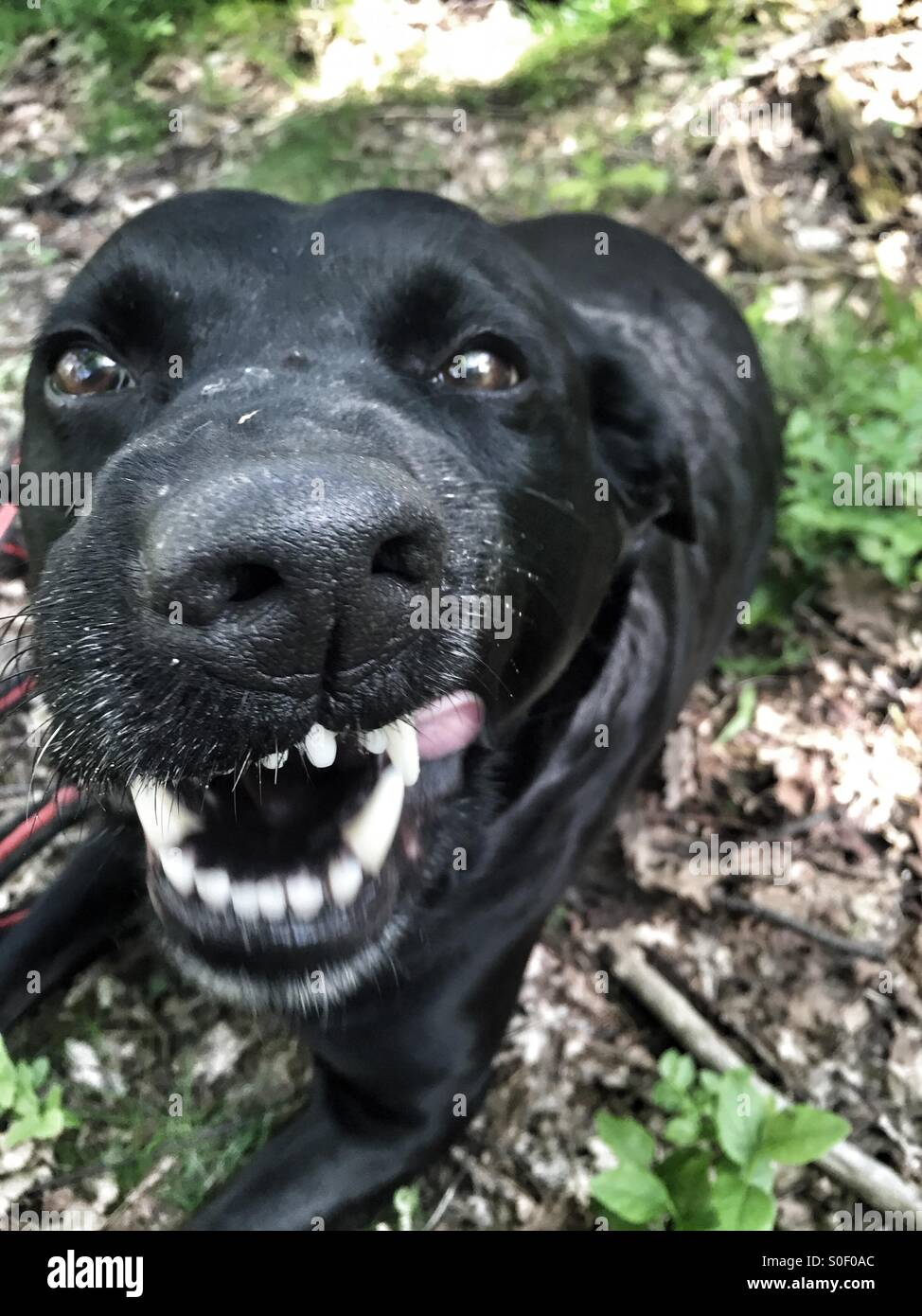 Dog making a face - Stock Image