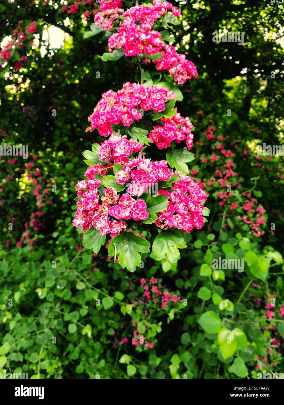 Flowering Hawthorn Tree - Stock Image