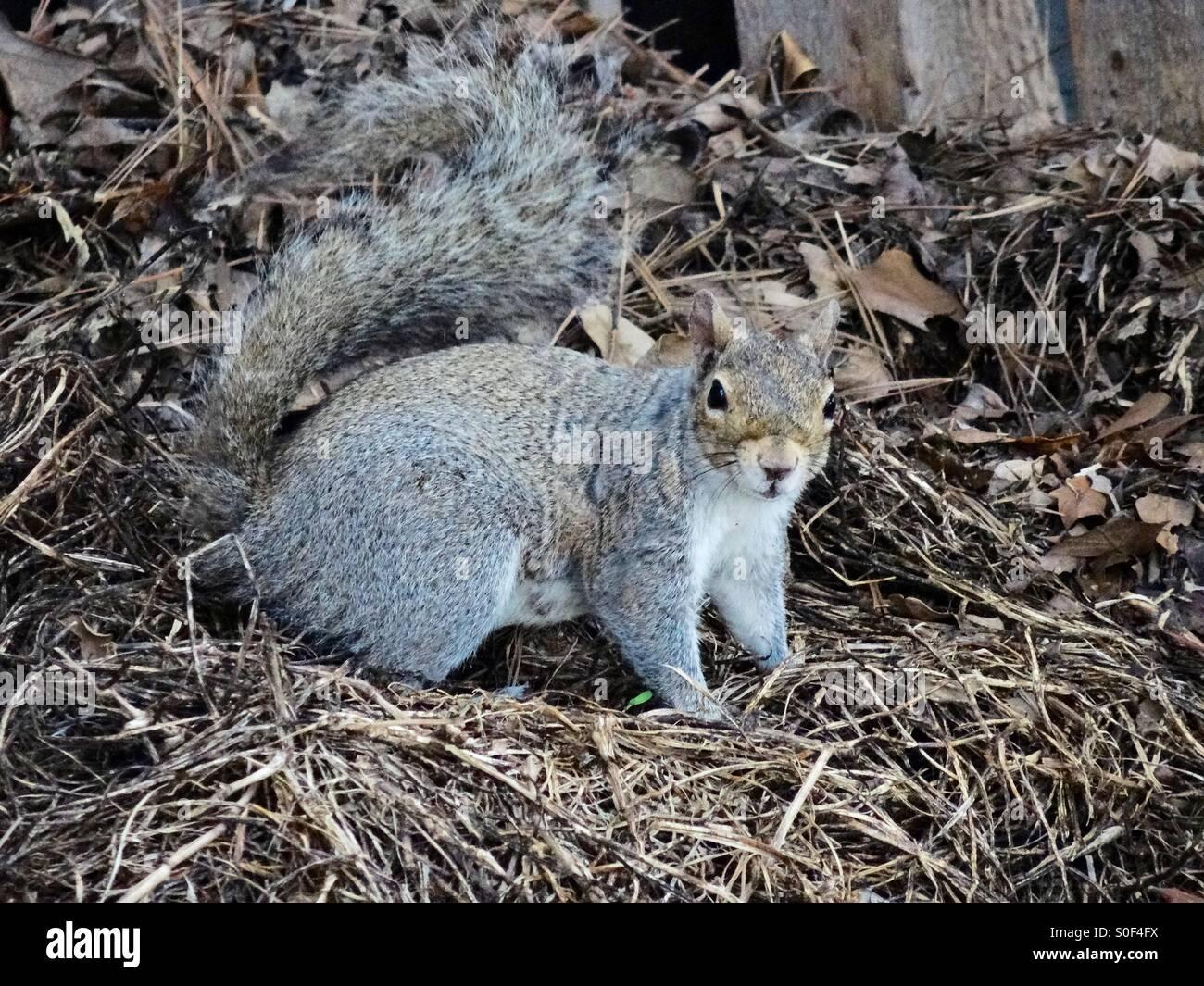 Squirrel lies in nest - Stock Image