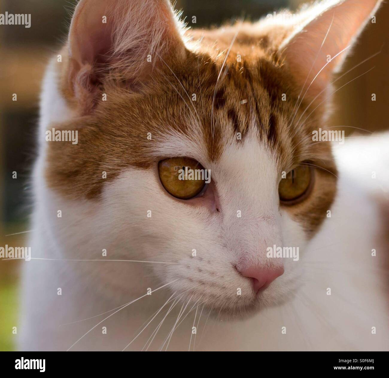 a19c3397cc Turkish van cat Stock Photo  310121186 - Alamy