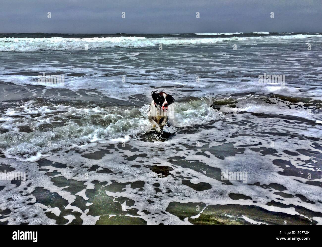 English Springer Spaniel retrieves ball from crashing surf. Ocean Beach, San Francisco, CA, USA. - Stock Image