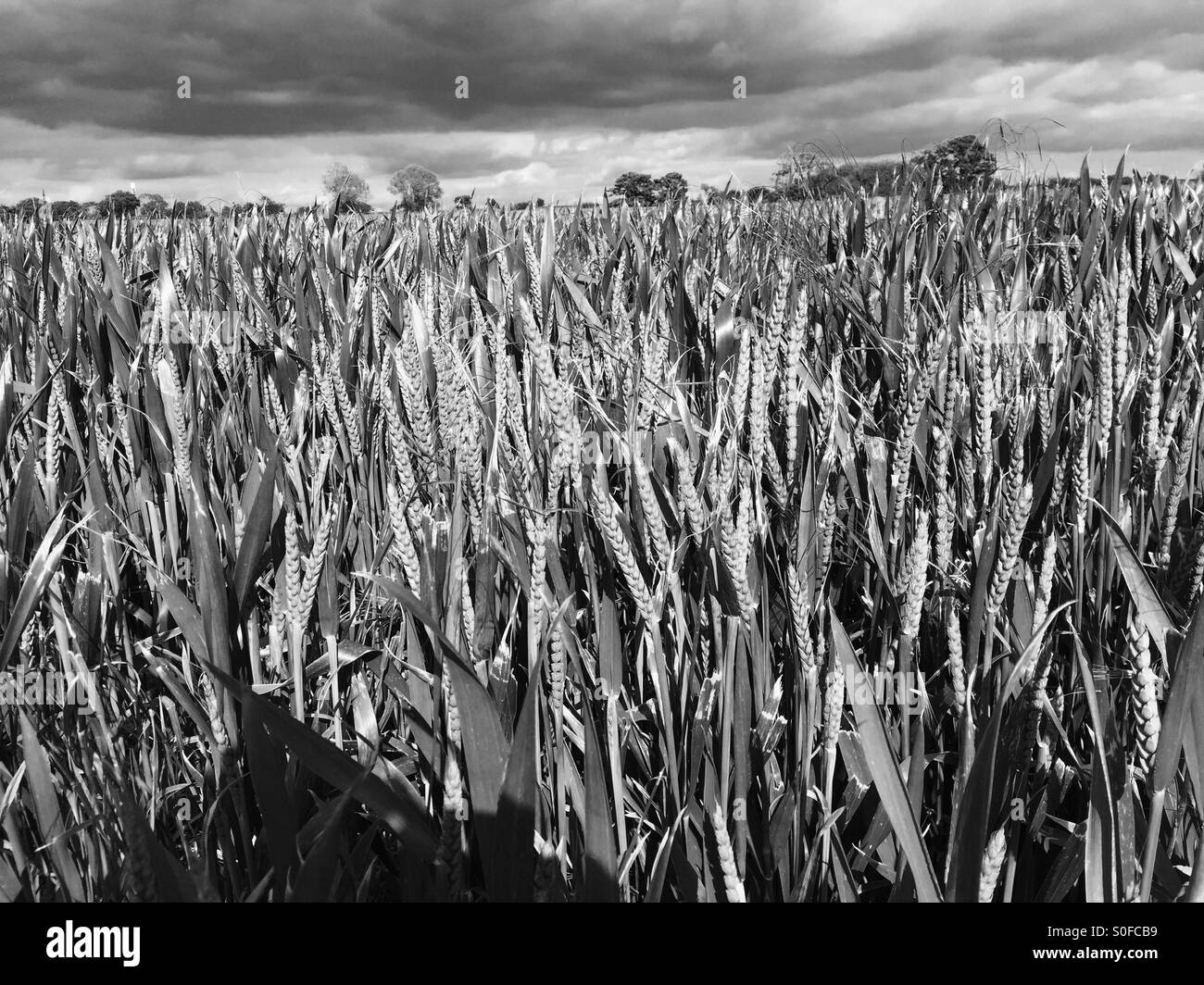 Wheat field in summer - Stock Image