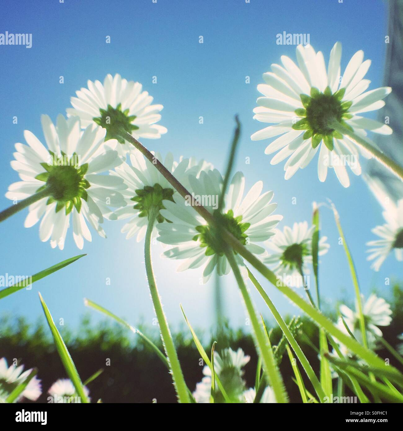 Daisy flowers growing - Stock Image
