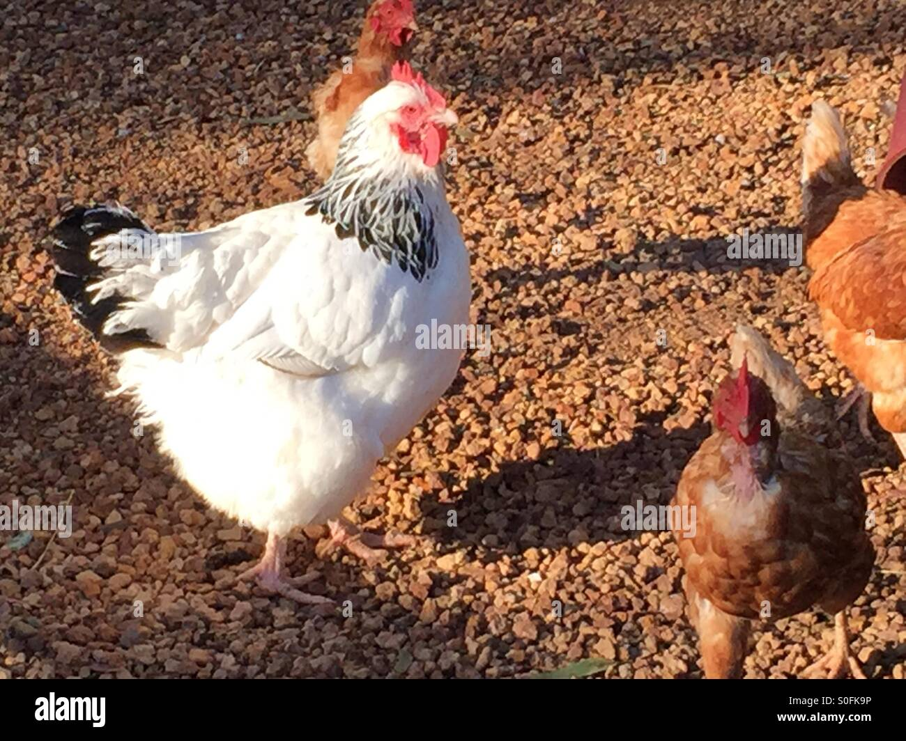 Chickens/hens on a farm - Stock Image