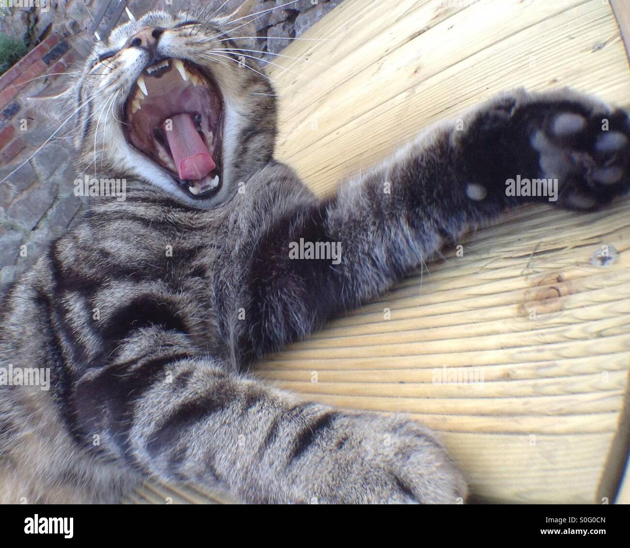 Yawning cat - Stock Image