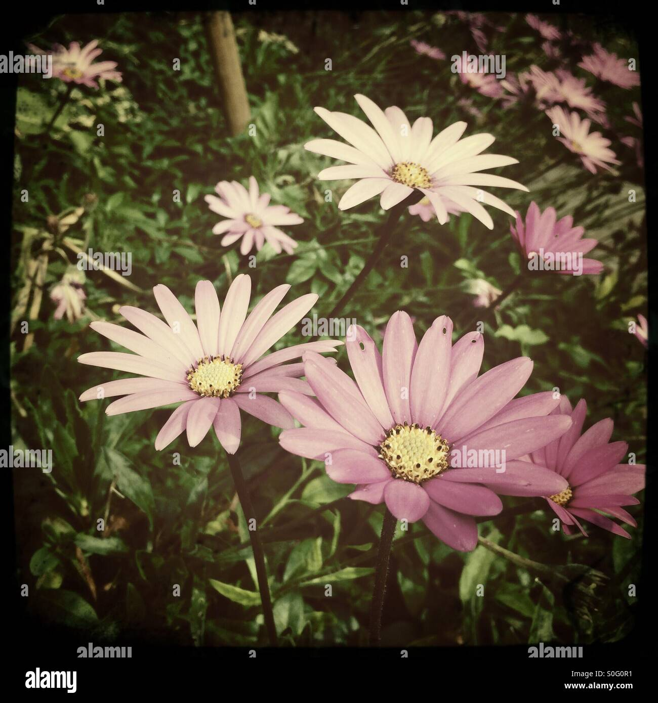 Daisy Type Flowers Stock Photo 310138501 Alamy