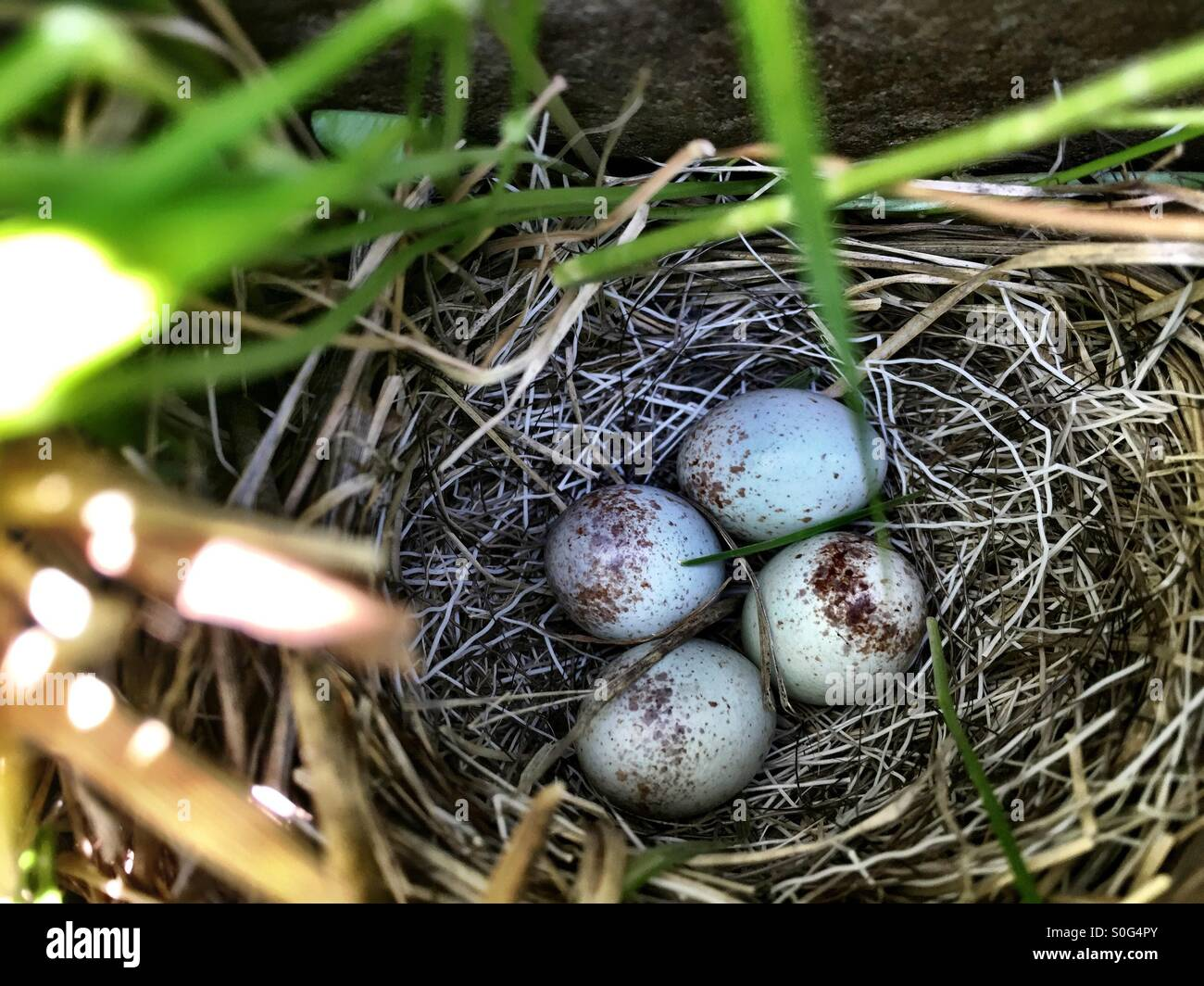 Small best filled with four specked bird eggs. - Stock Image
