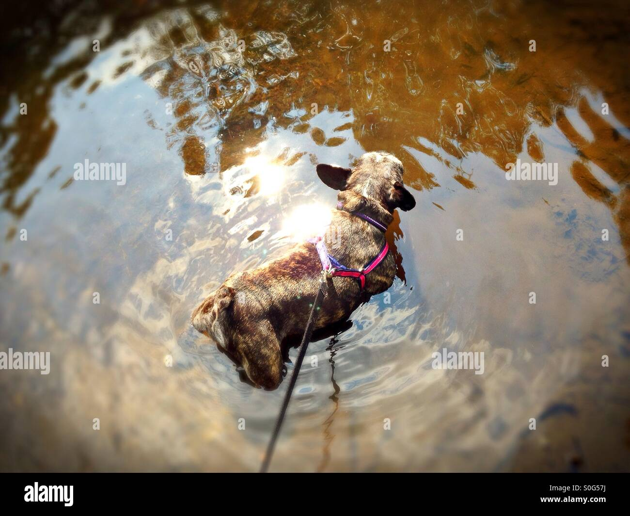 A dog standing in water. - Stock Image