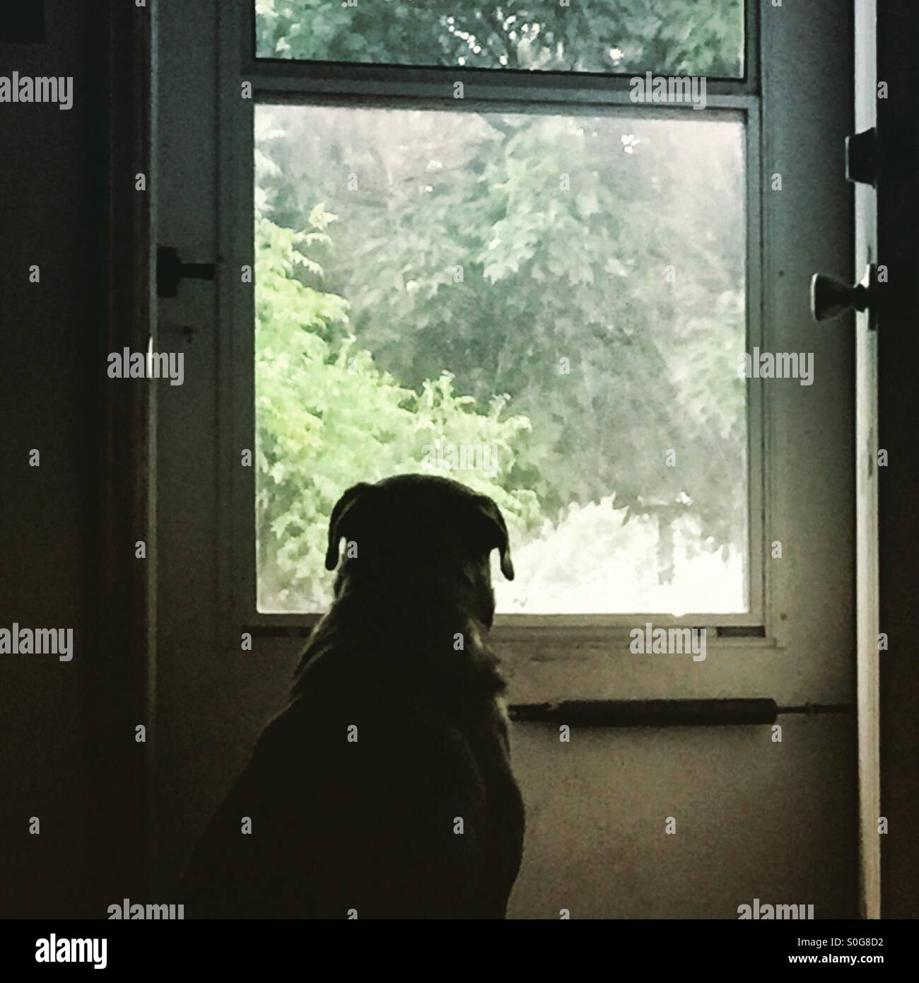A dog waits patiently at the storm door for the rain to stop falling - Stock Image