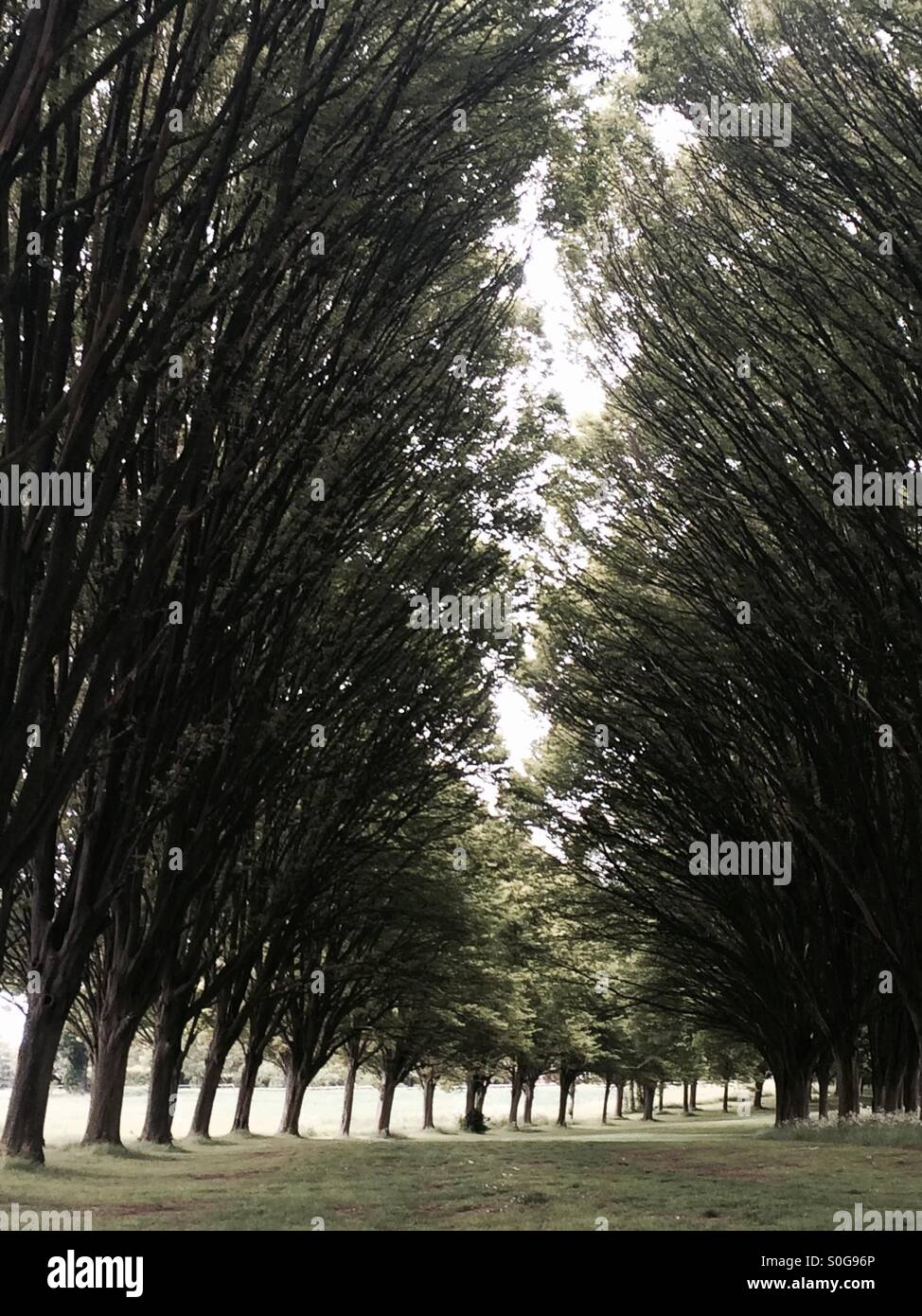Firs at Radley College in Oxfordshire - Stock Image