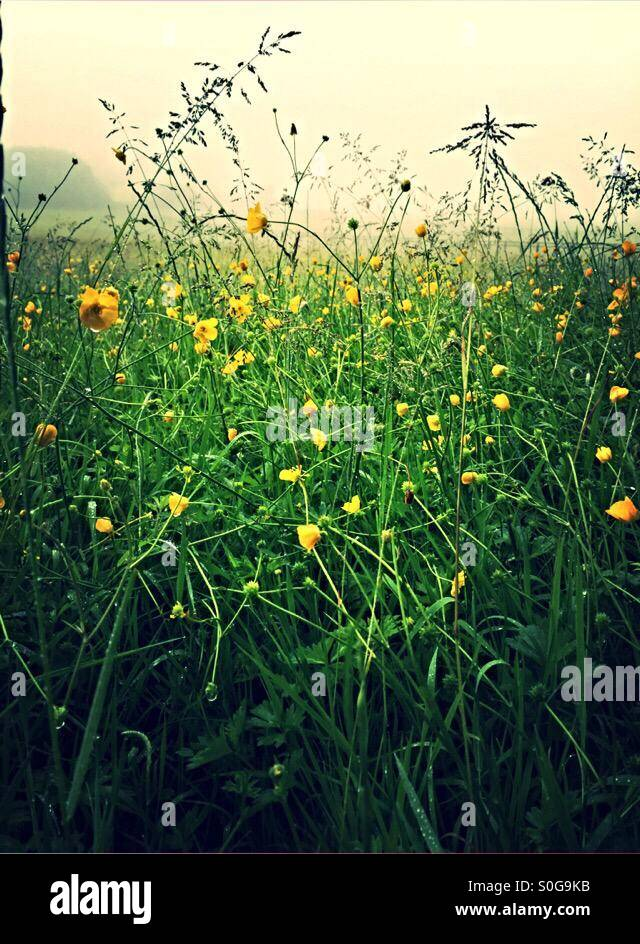 Buttercups in the morning mist and dew - Stock Image