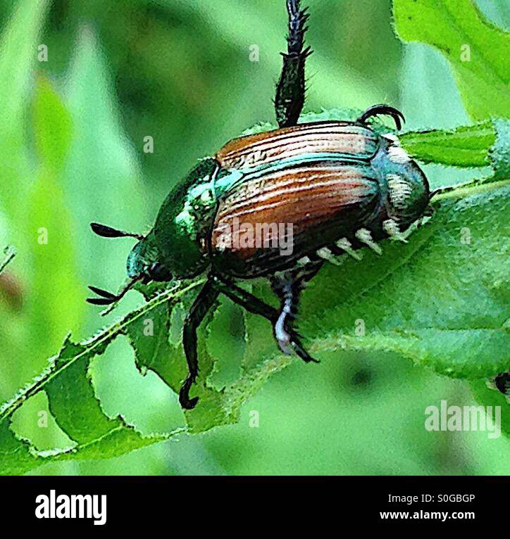 Japanese beetle eating a leaf causing damage to the foliage. - Stock Image