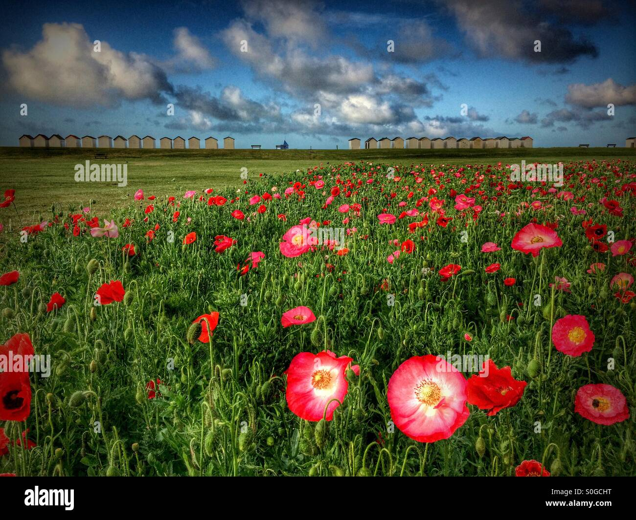Field of red and pink poppies showing beach huts and seaside in background. - Stock Image