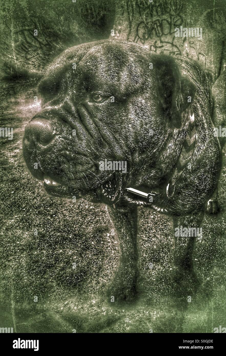 Bullmastiff male dog worlds largest dogs - Stock Image