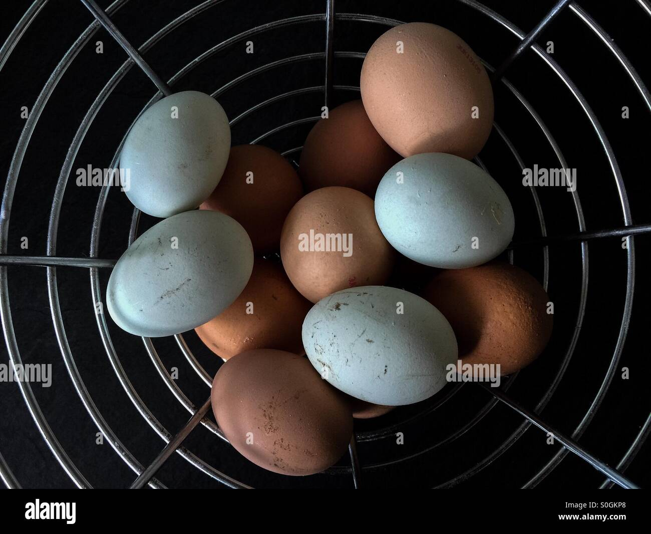 Free range eggs in a metal basket, blue eggs from a Silkie hen - Stock Image