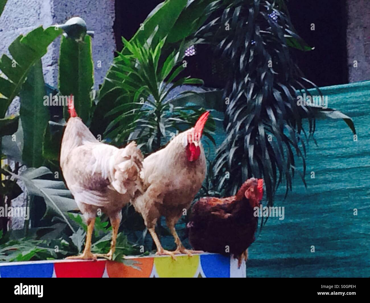 Hens in India - Stock Image