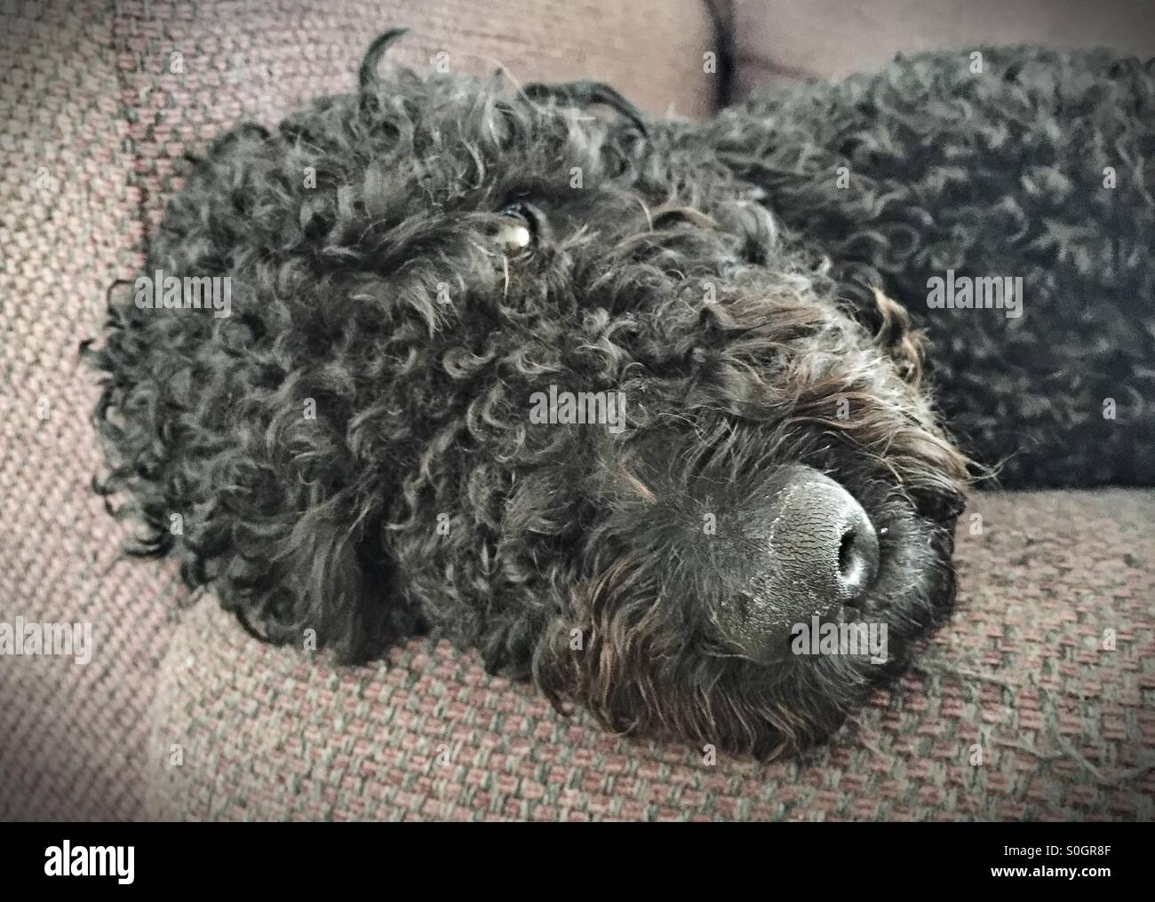 Black curly haired Labradoodle dozing on an armchair - Stock Image