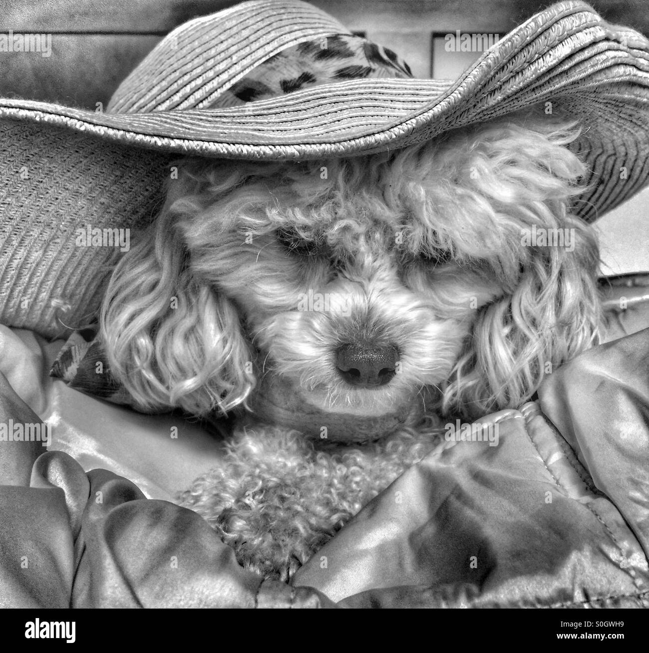 Poodle ready to go - Stock Image