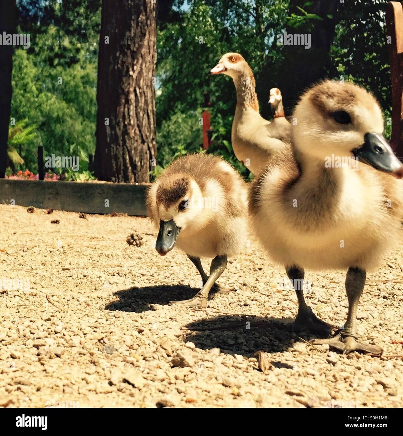 Baby chicks - Stock Image