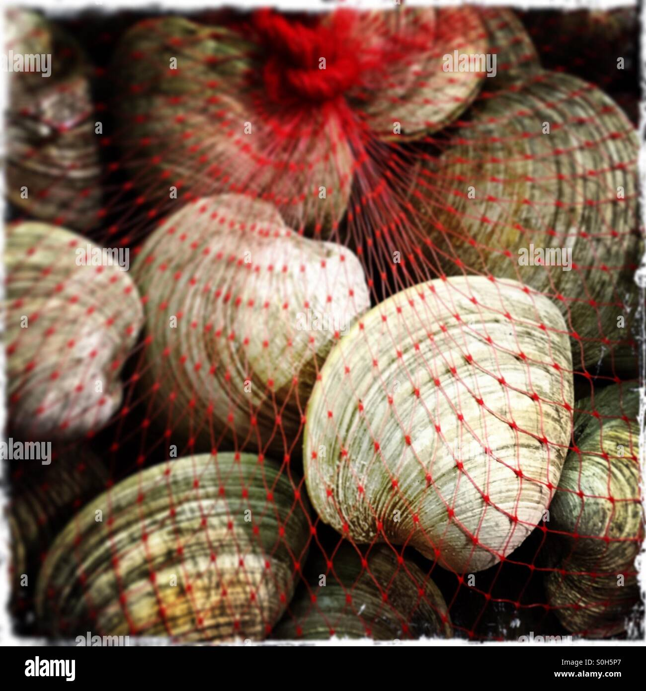 Clams - Stock Image