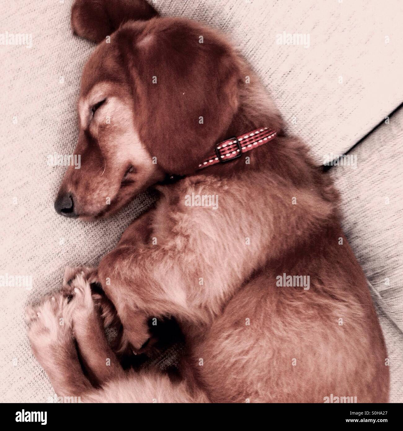 Mogi chiweenie in fetal position - Stock Image