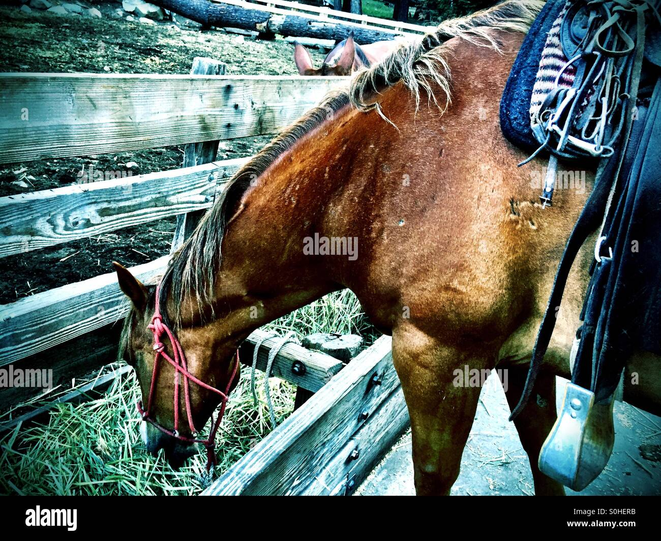 Pack horse morning tack and feed before a long day's ride. - Stock Image