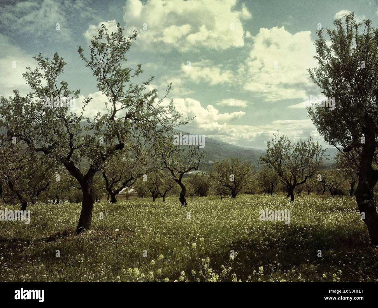 Olive grove in Spain - Stock Image