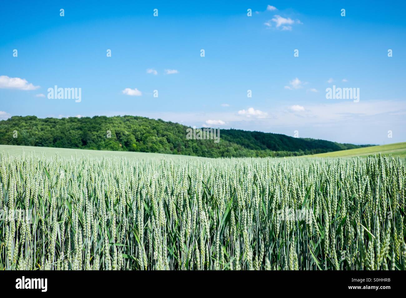 Bedkowice field - Stock Image