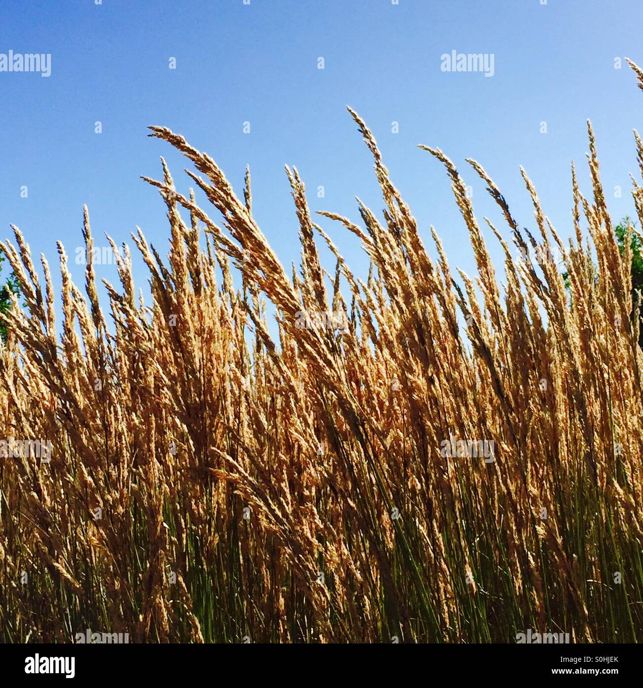 Ears of corn in the wind - Stock Image