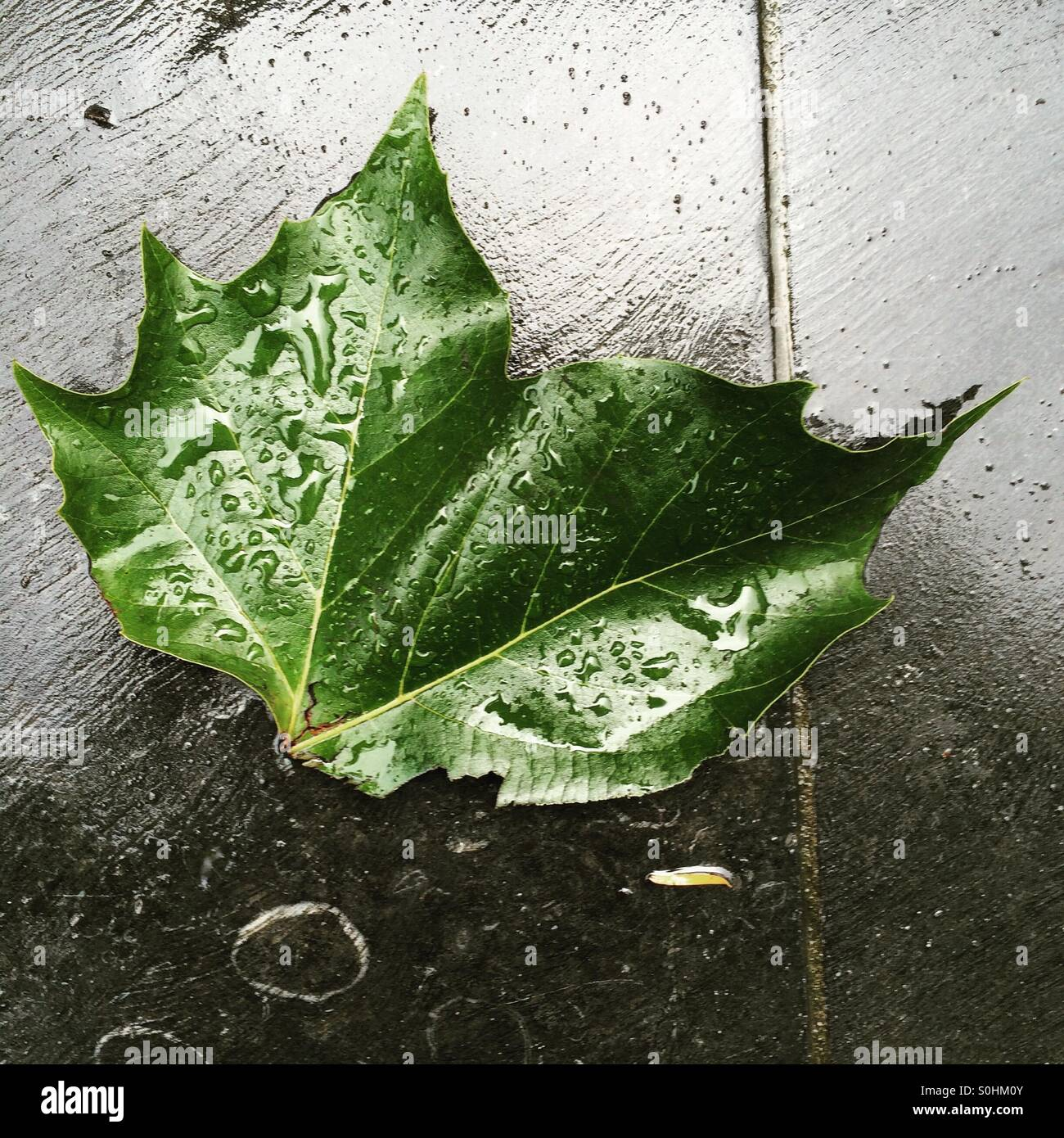 Rain drops on leaf - an Irish Summer - Stock Image