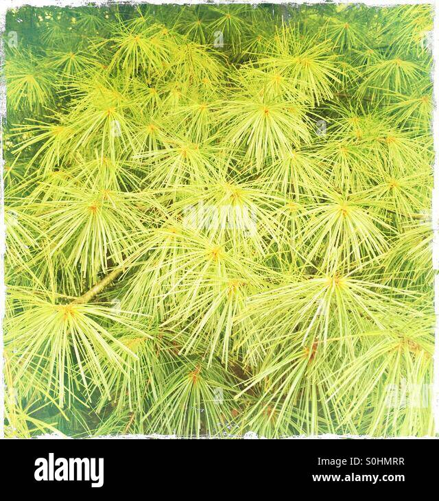 Pine needles - Stock Image
