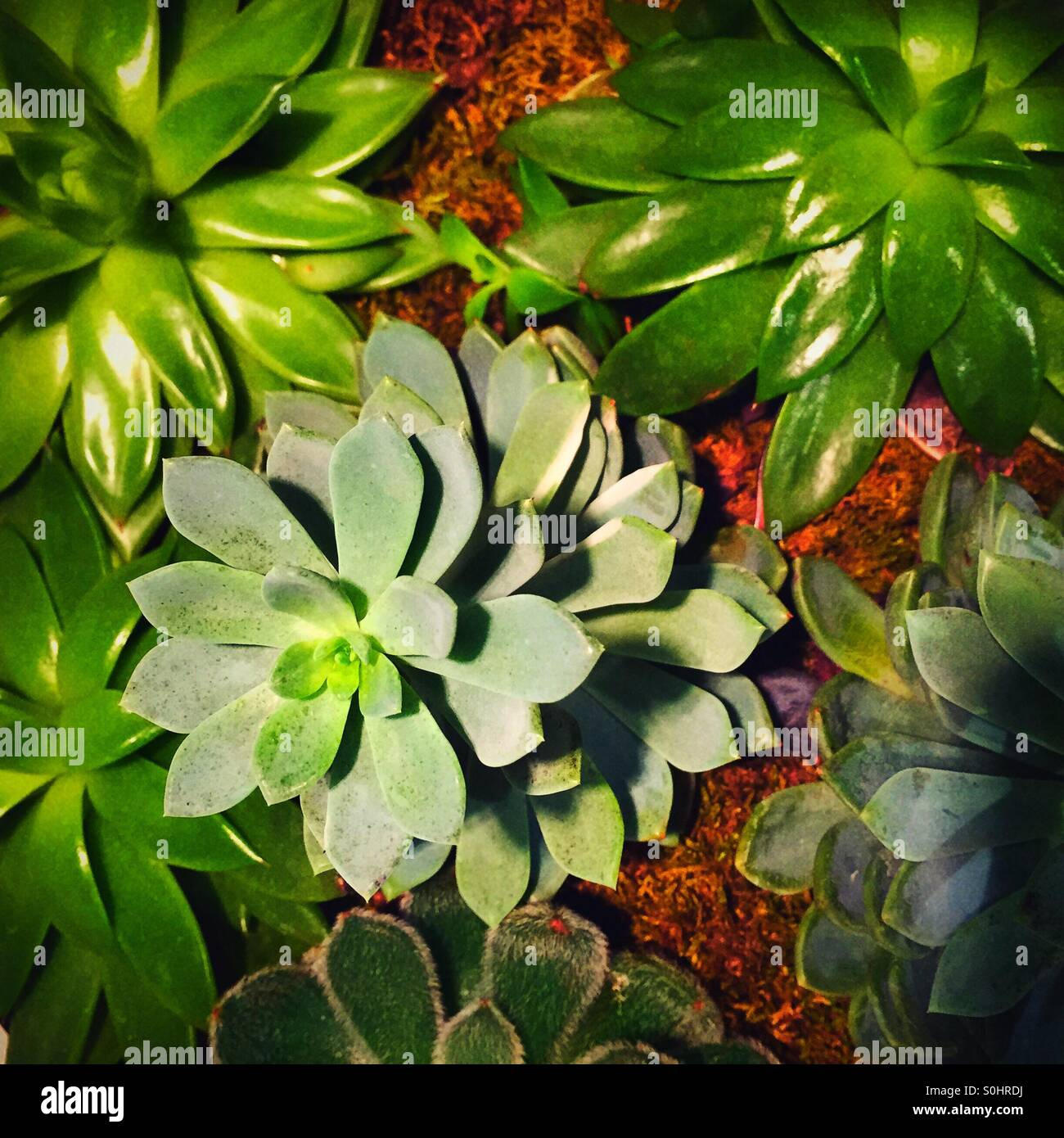 Succulent plants are green and shiny. Stock Photo
