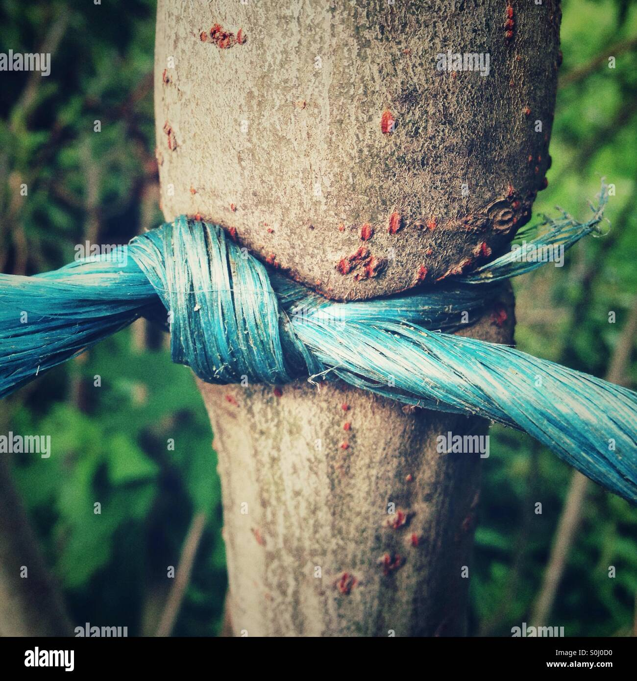 A plastic string tied around a tree with a knot has grown in - Stock Image