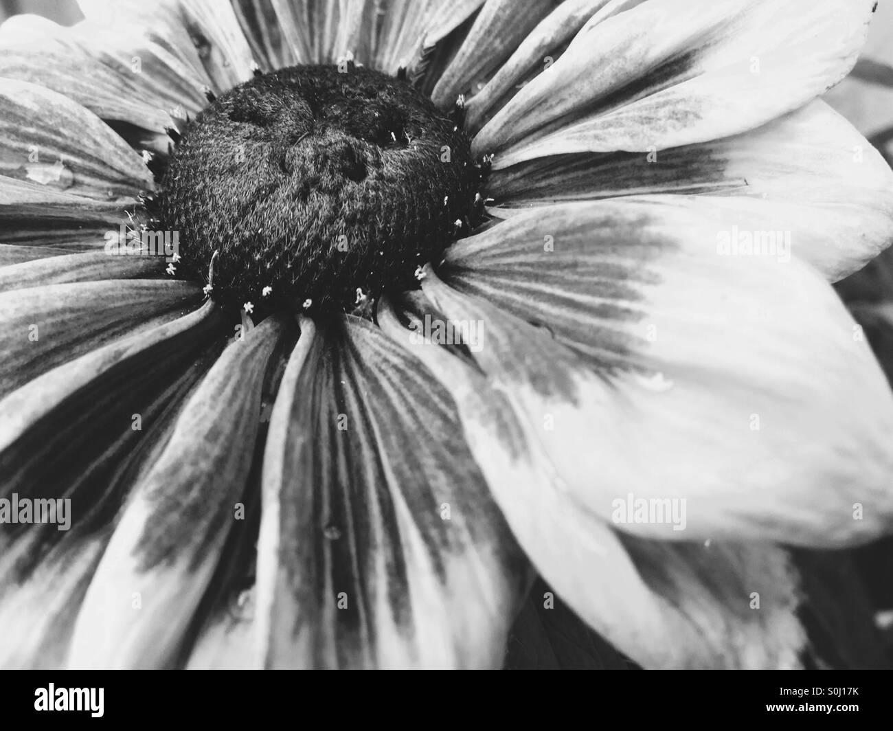 Close Up Single Large Flower Black And White Stock Photo 310182759