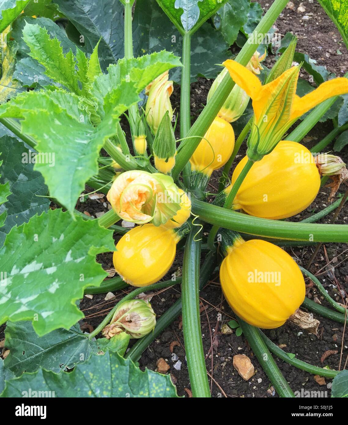 Pumpkins growing in the garden - Stock Image