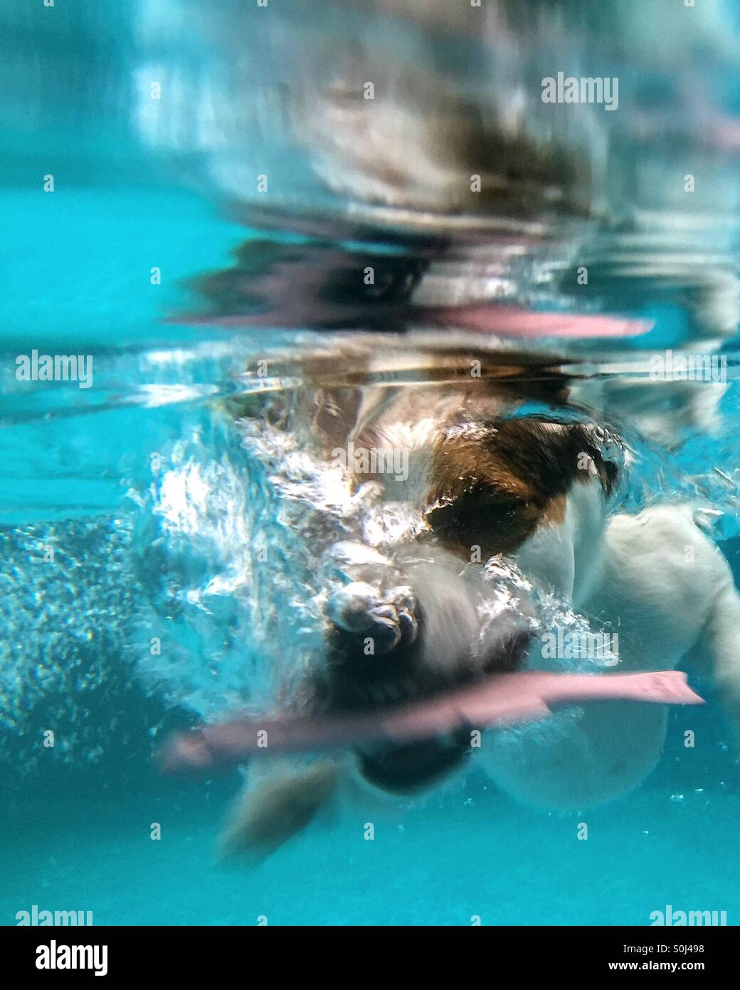 Jack Russell Terrier dog diving under water to get submerged toy. Stock Photo