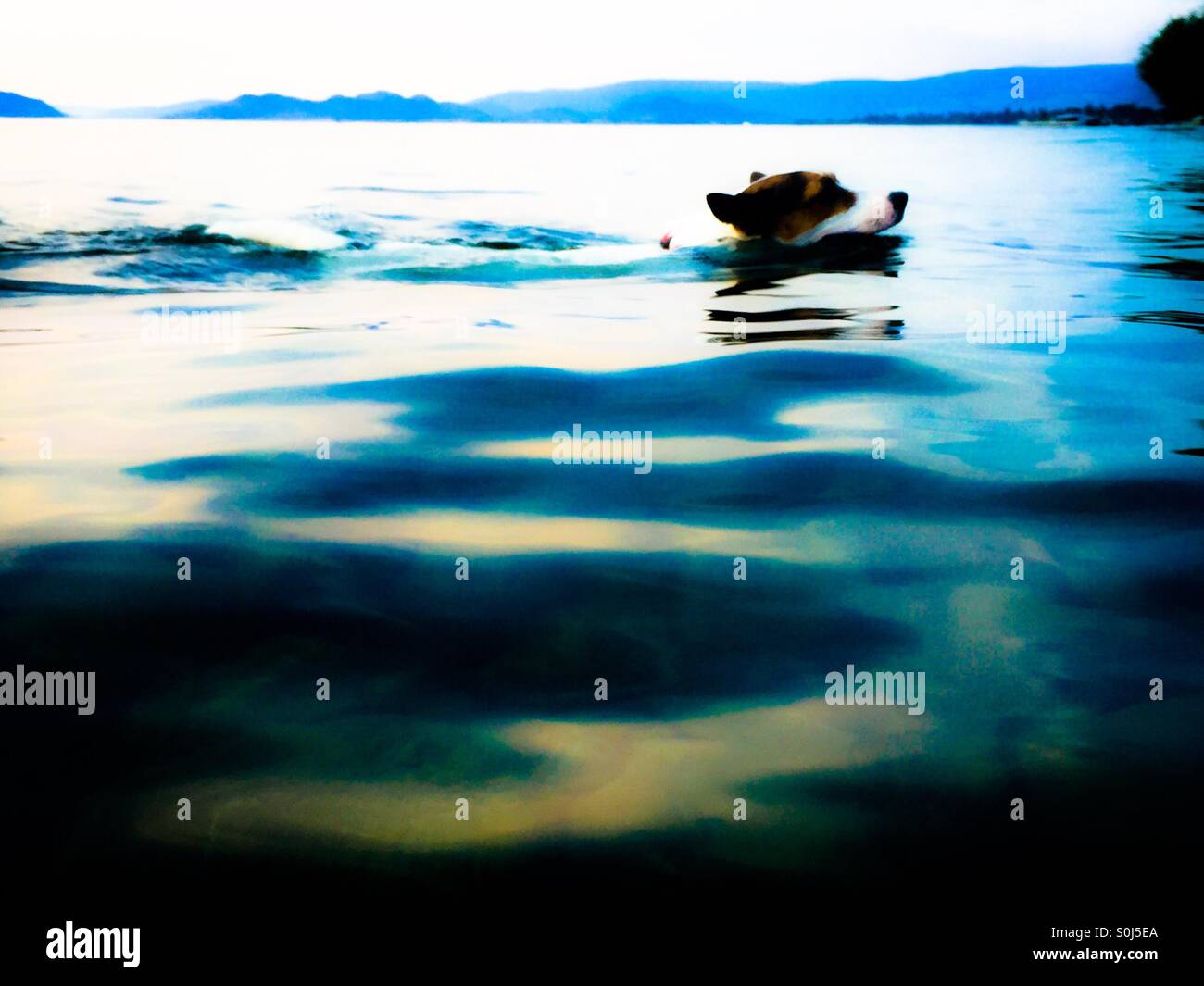 Dog swimming in a lake on a summer evening. - Stock Image