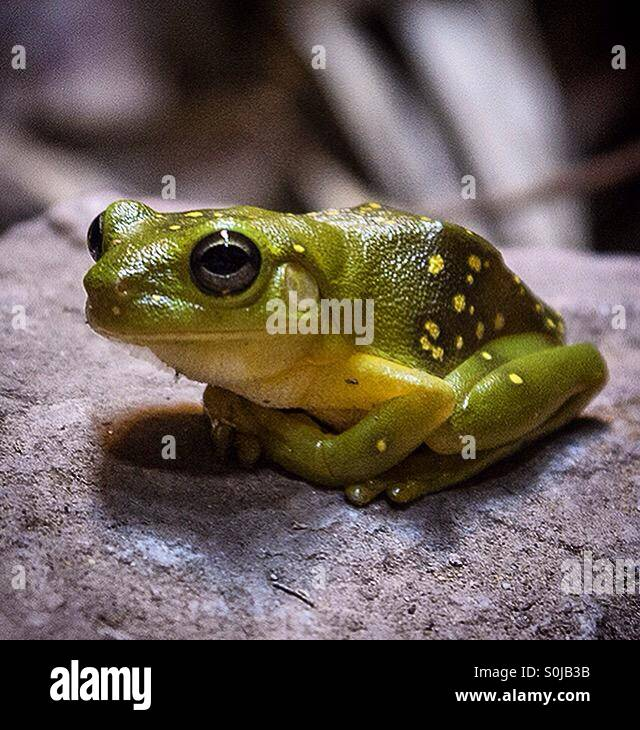 Cave frog. A moderate-sized species with a flattened appearance and possessing medium-long hind limbs. Hiding in - Stock Image