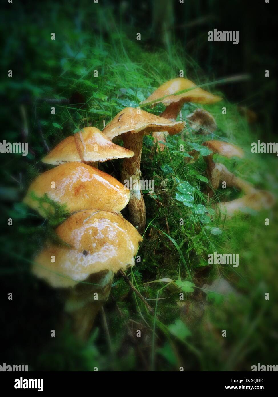 Toadstools (Fungi) growing in the damp long grass - Stock Image