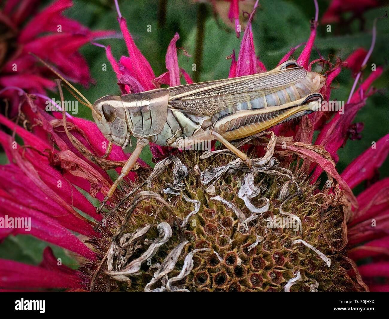 Grasshopper on fading monarda flower in backyard garden. - Stock Image