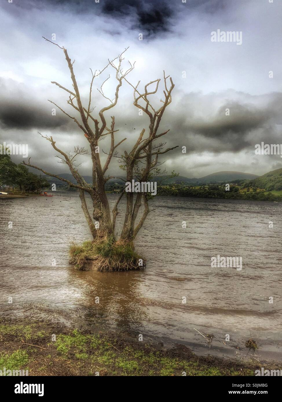 Dead tree on a small island on Ullswater lake - Stock Image