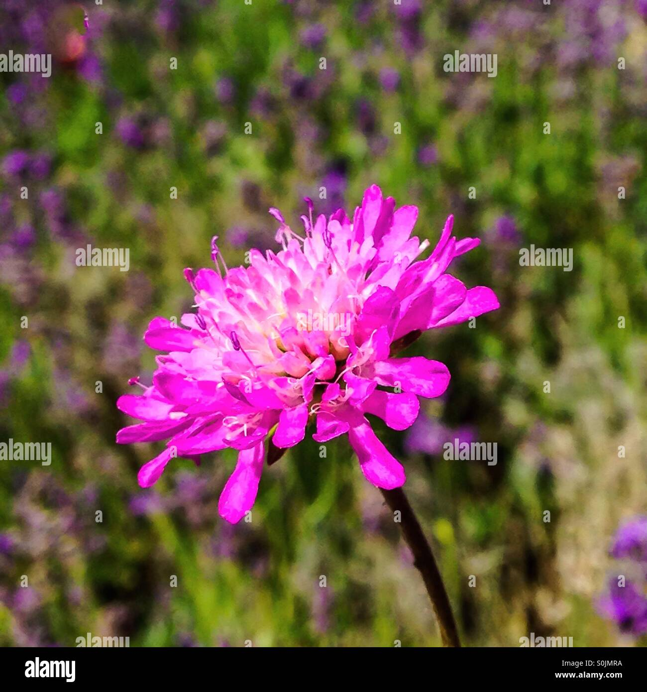 Pink Scabious flower - Stock Image