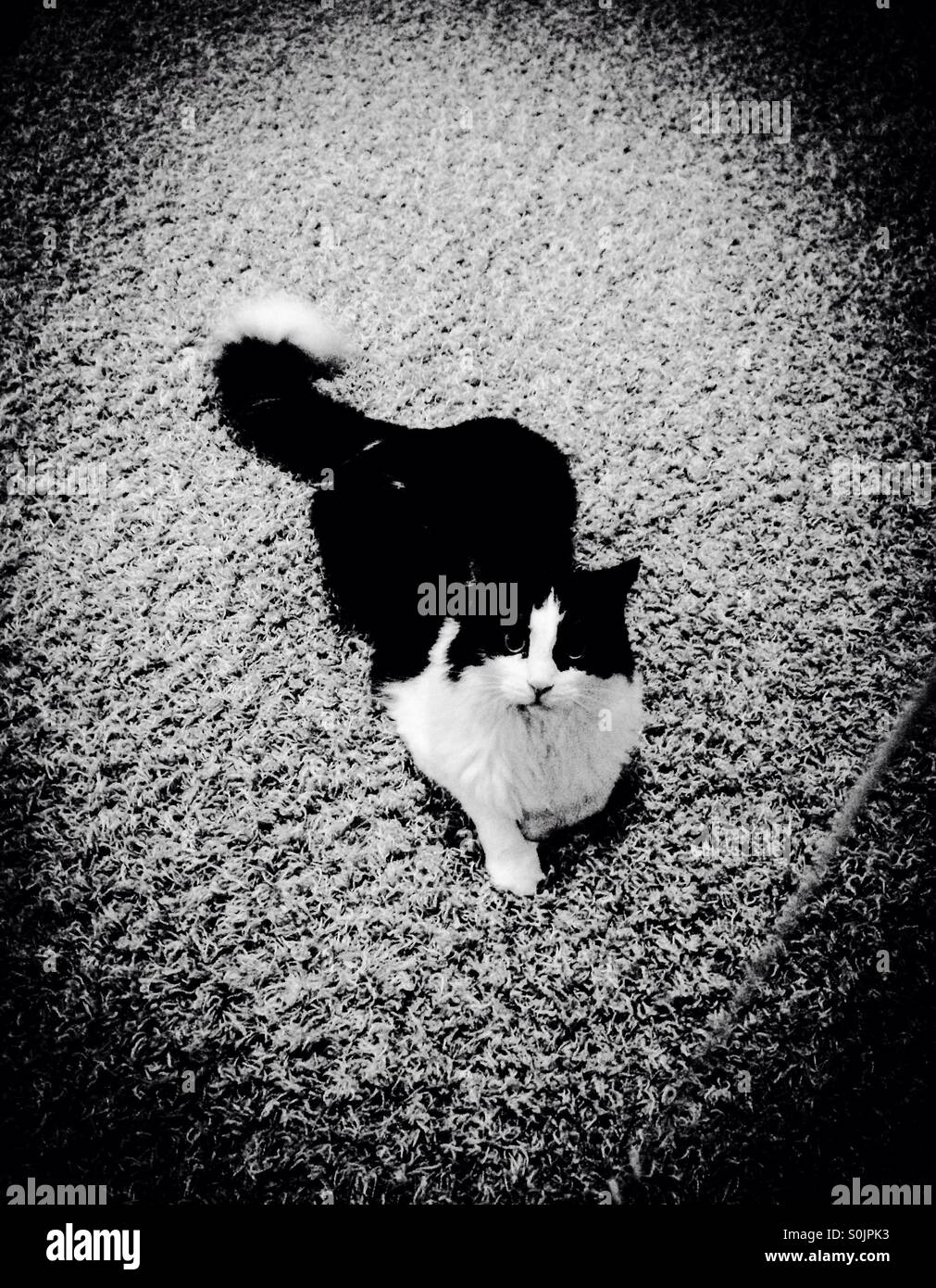 Black and white longhaired cat in black and white photo Stock Photo