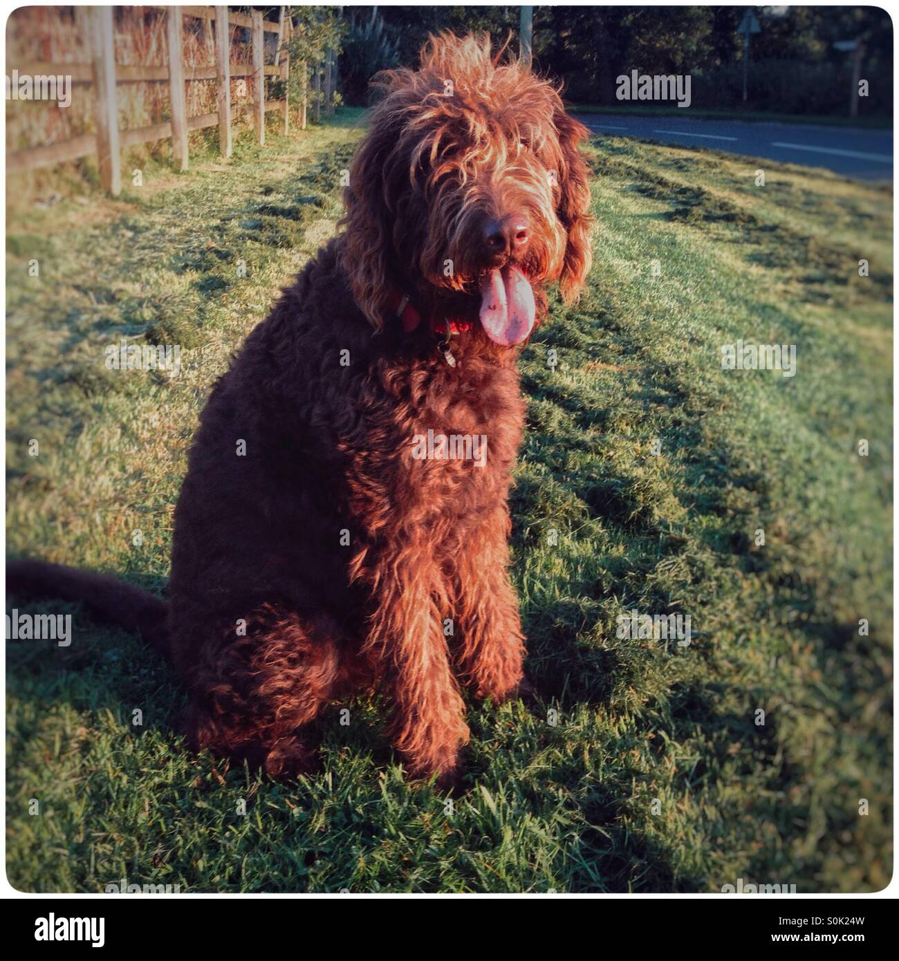 Chocolate brown labradoodle dog. - Stock Image